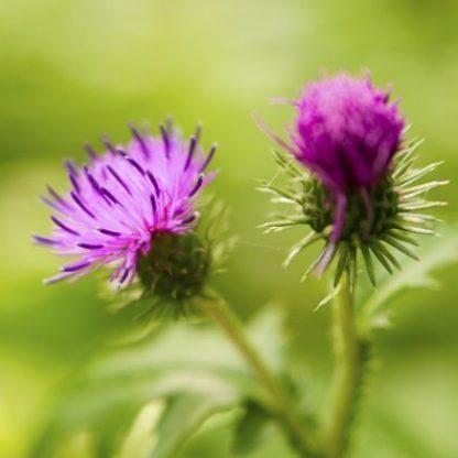burdock medicinal flower organic singapore