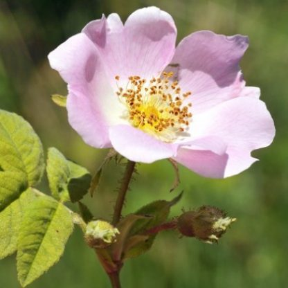 organic rose hip oil skincare Singapore